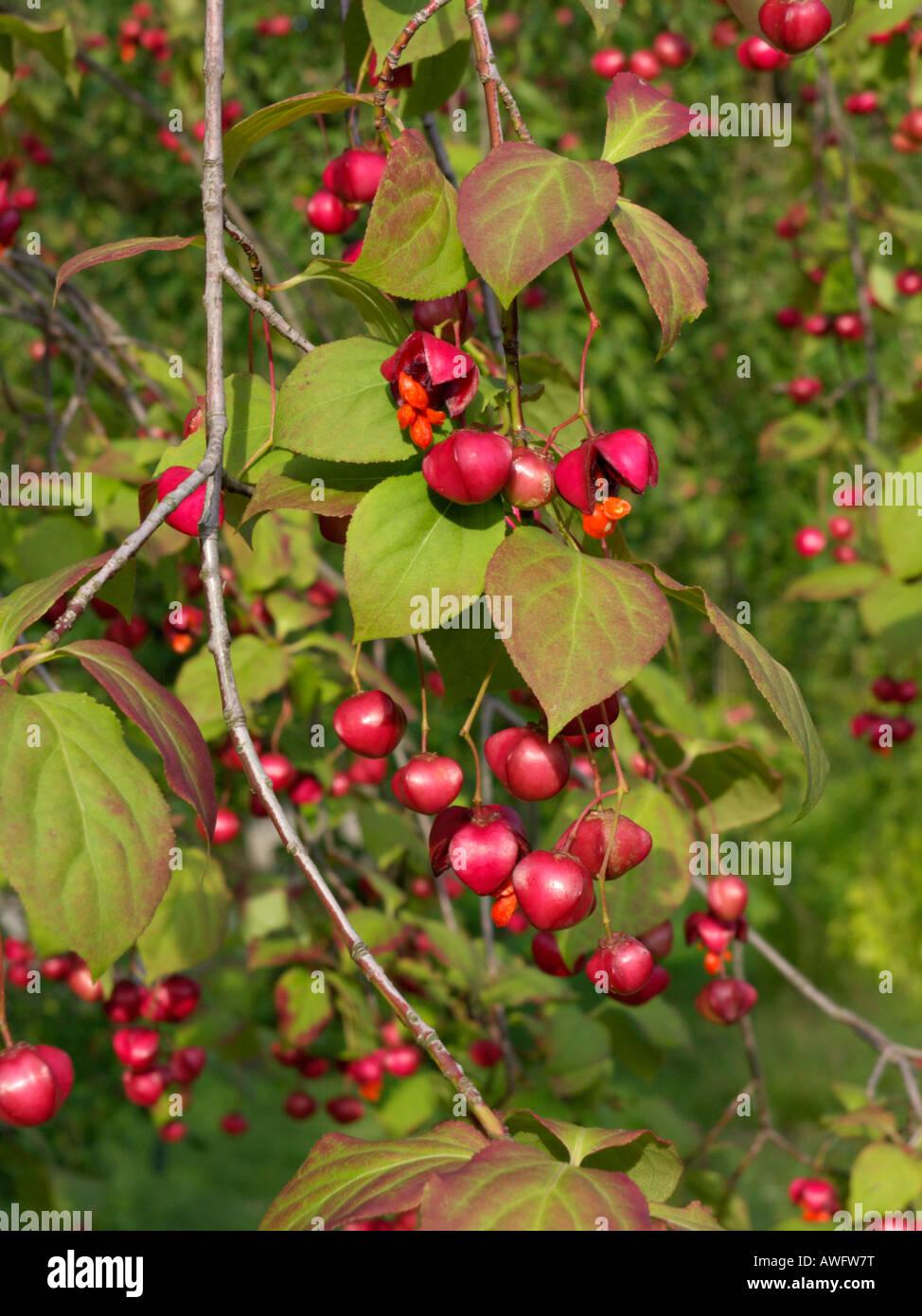 Dingle dangle tree (Euonymus planipes) - Stock Image