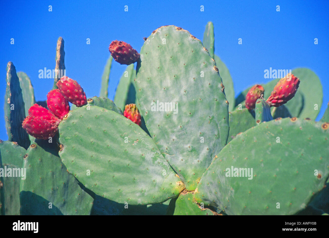 Prickly pear cactus fruit growing on plant Sicily Italy - Stock Image
