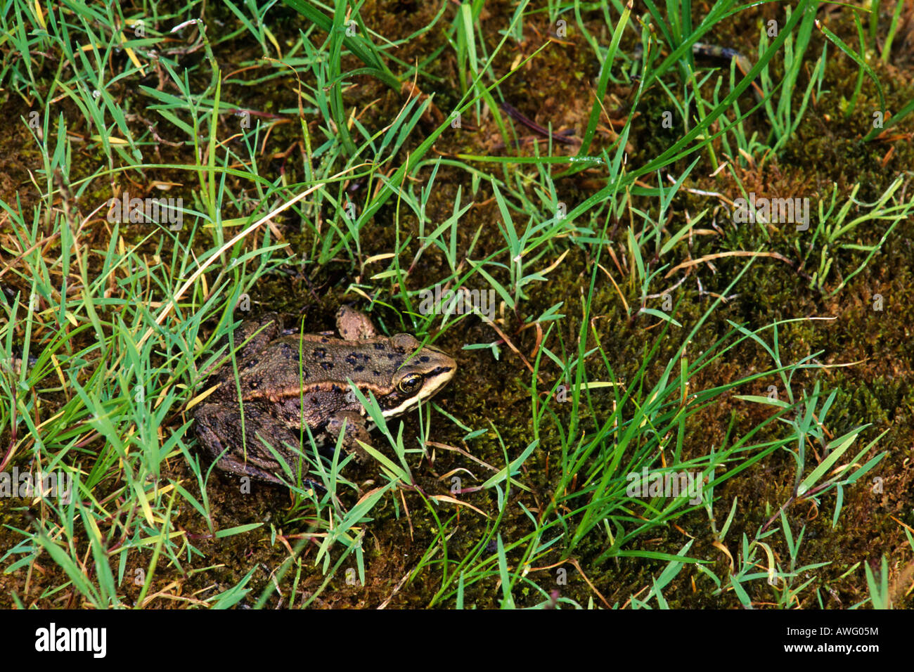 Spotted frog Wells Gray Provincial Park British Columbia Canada Stock Photo