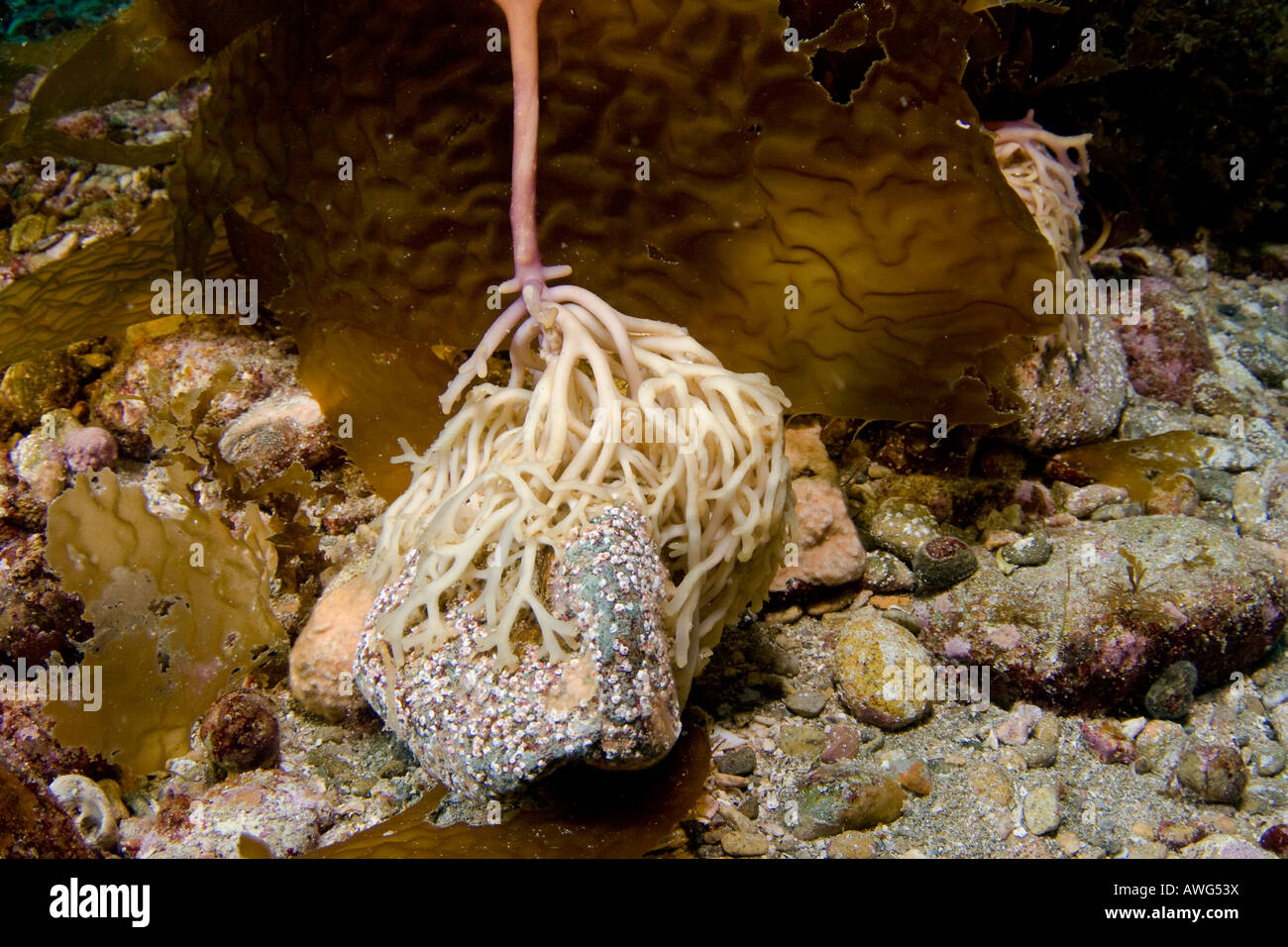 The holdfast is the root system anchoring giant kelp, Macrocystis pyrifera, to the sea floor, Catalina Island, California, - Stock Image