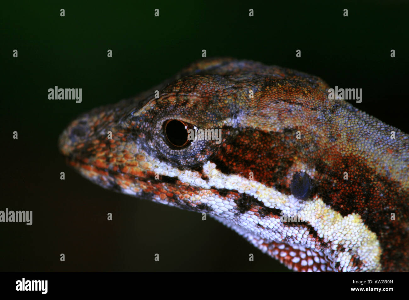 A lizard in Volcan Baru national park in the Chiriqui province, Republic of Panama. - Stock Image