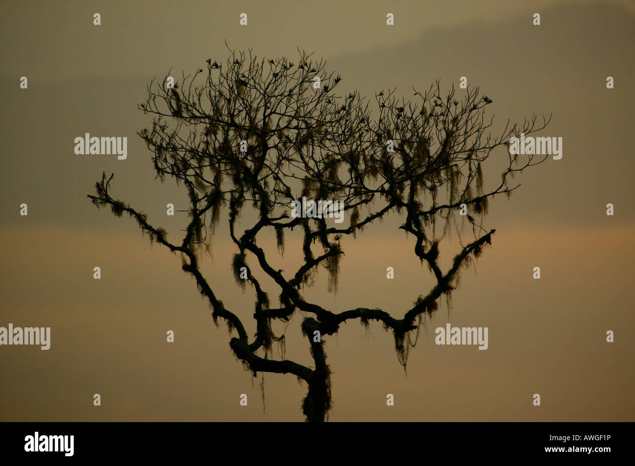 Tree and misty landscapes at Cerro Pirre in Darien national park, Darien province, Republic of Panama. - Stock Image