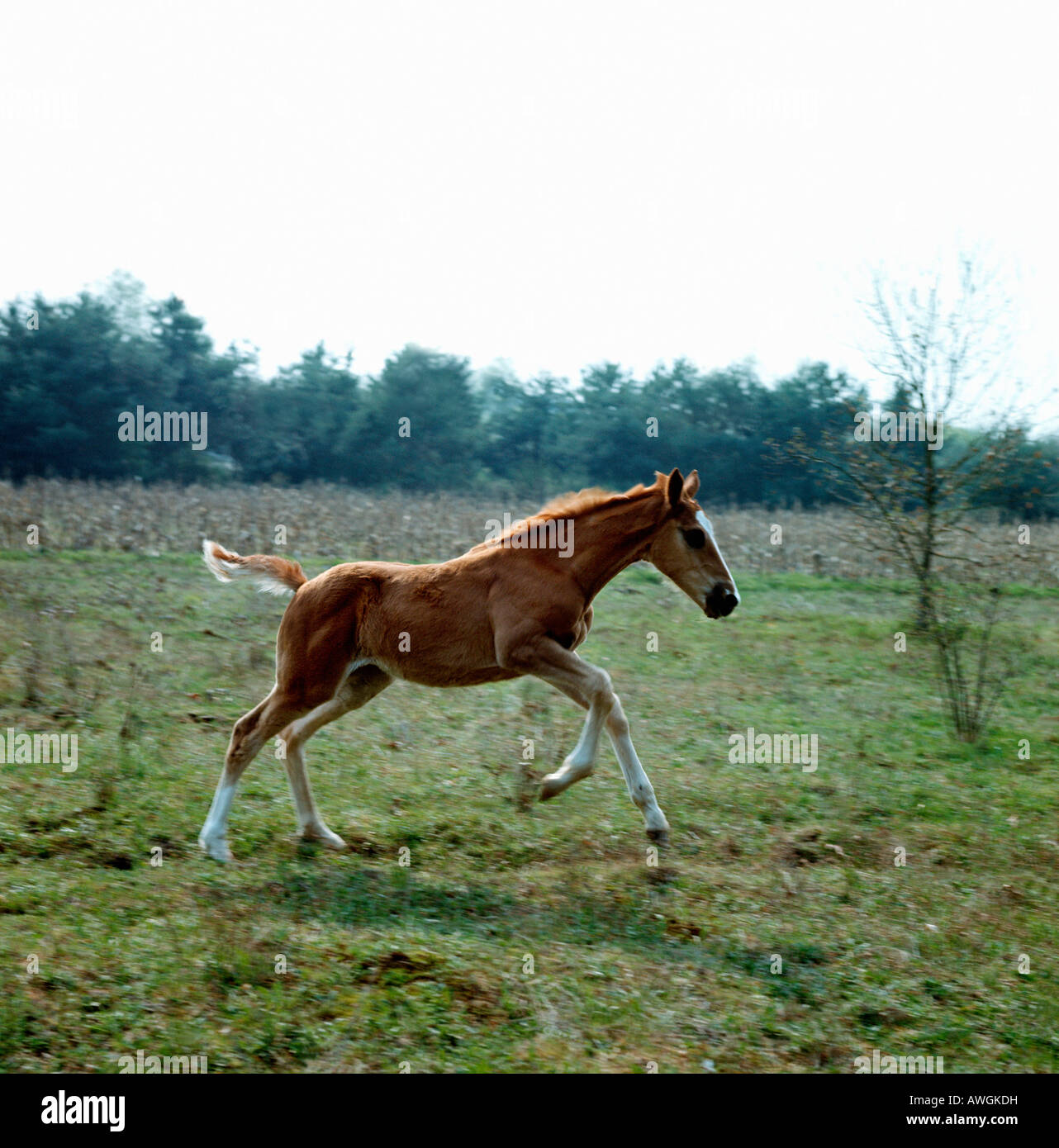 poulain galopant dans les pres Equus caballus Aestival seasons Alone America Babies Baby Beautiful season Beautiful Stock Photo