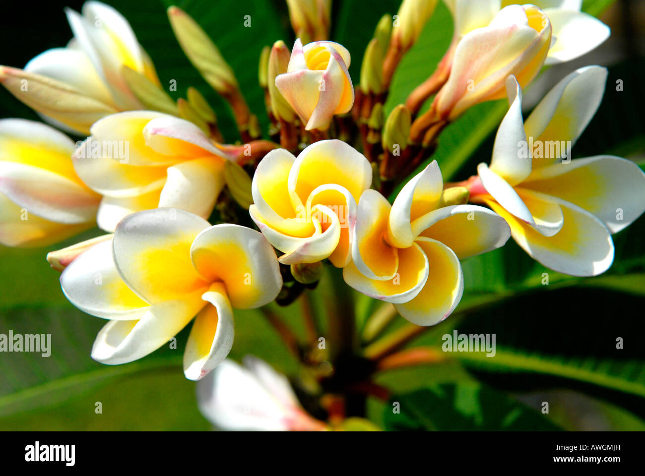 Vietnam Danang Museum of Champa Sculpture garden , close up of beautiful exotic white and yellow flowering bush - Stock Image