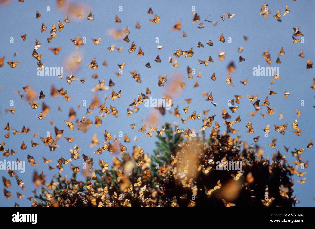 Monarch Butterfly , monarques Monarchfalter Monarchs Danaus plexippus on migration animals Arthropoda arthropods - Stock Image