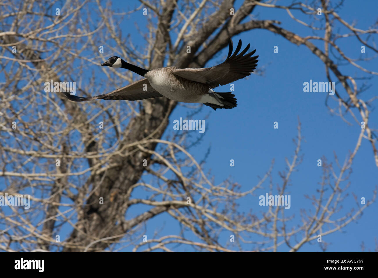 Goose in flight in Calgary, Alberta Stock Photo