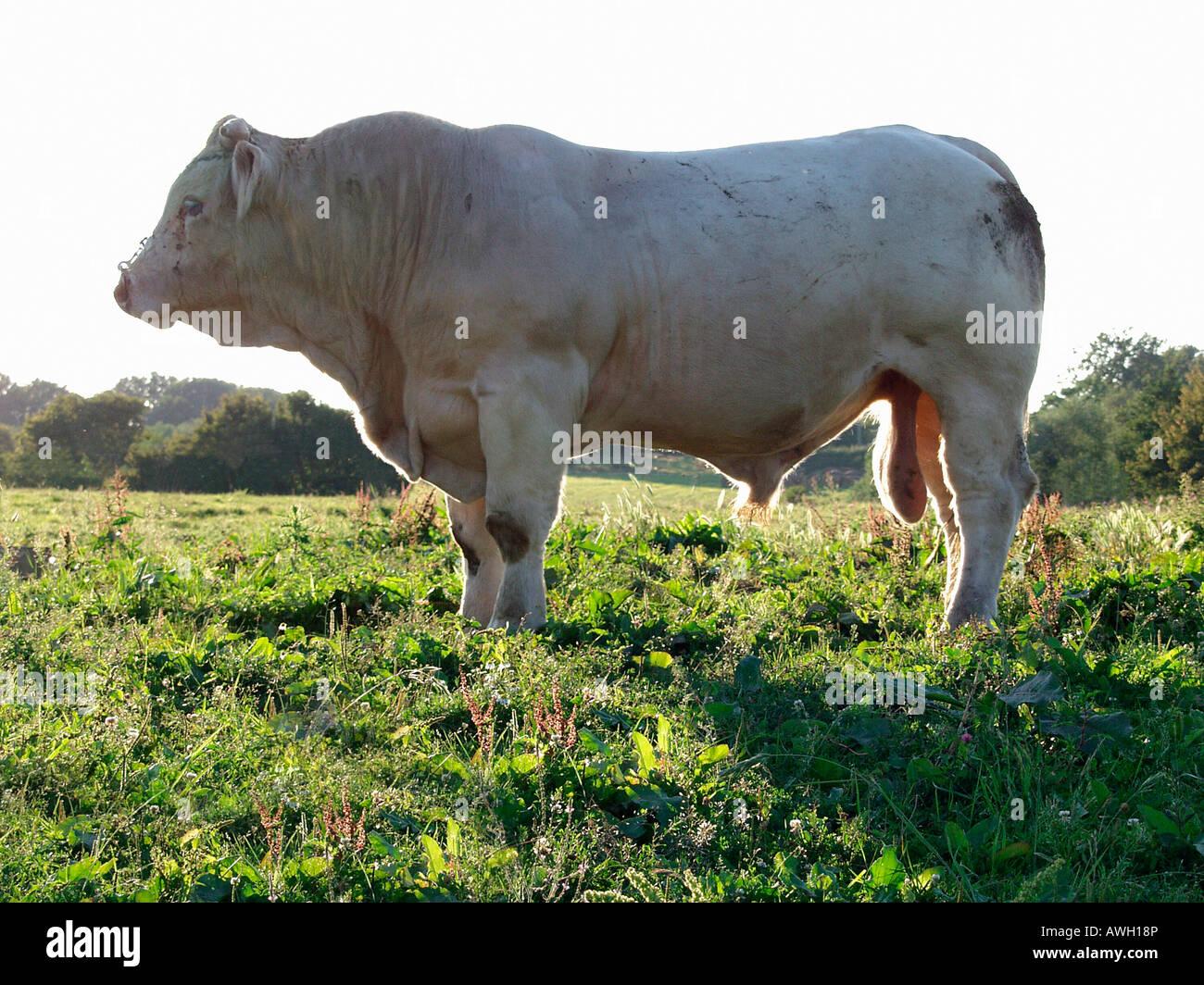 taureau Charolais au pré Bos taurus domesticus Aestival seasons Agriculture Agricultures Alone Animal breeding - Stock Image