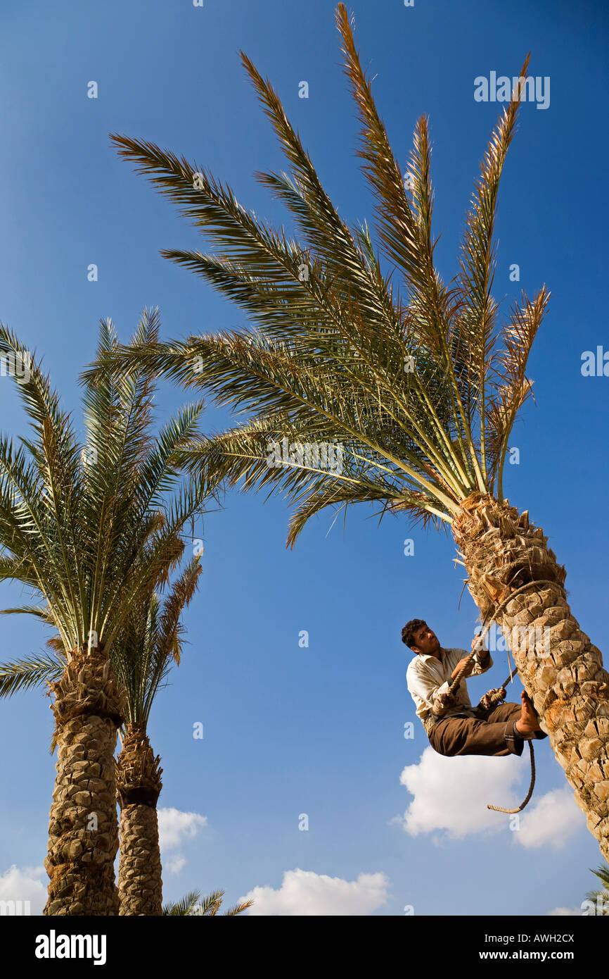 Man climbing palm tree to trim some of the leaves and tree trunk - Stock Image