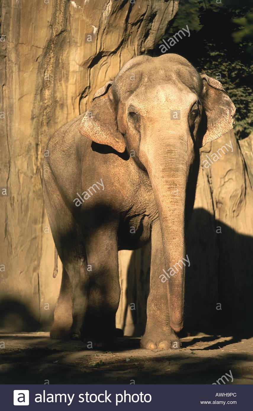 USA, Pacific Northwest, Oregon, Portland, Washington Park, Oregon Zoo, Asian Elephant (Elephas maximus) - Stock Image