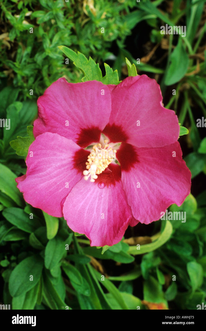 Hibiscus Syriacus Pink Giant Stock Photo 9477892 Alamy
