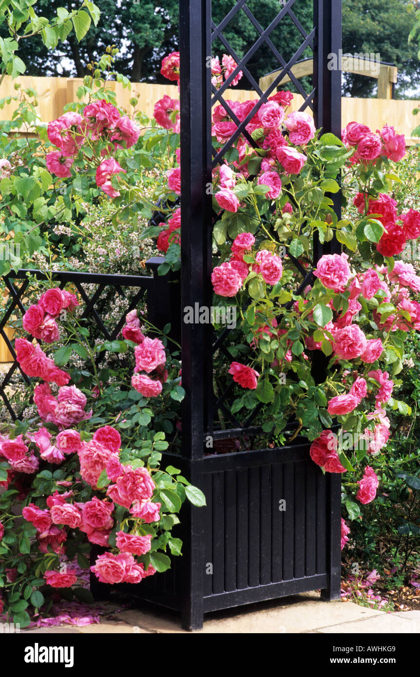rosa 39 rosarium uetersen 39 climbing hybrid tea rose container stock photo 9477960 alamy. Black Bedroom Furniture Sets. Home Design Ideas