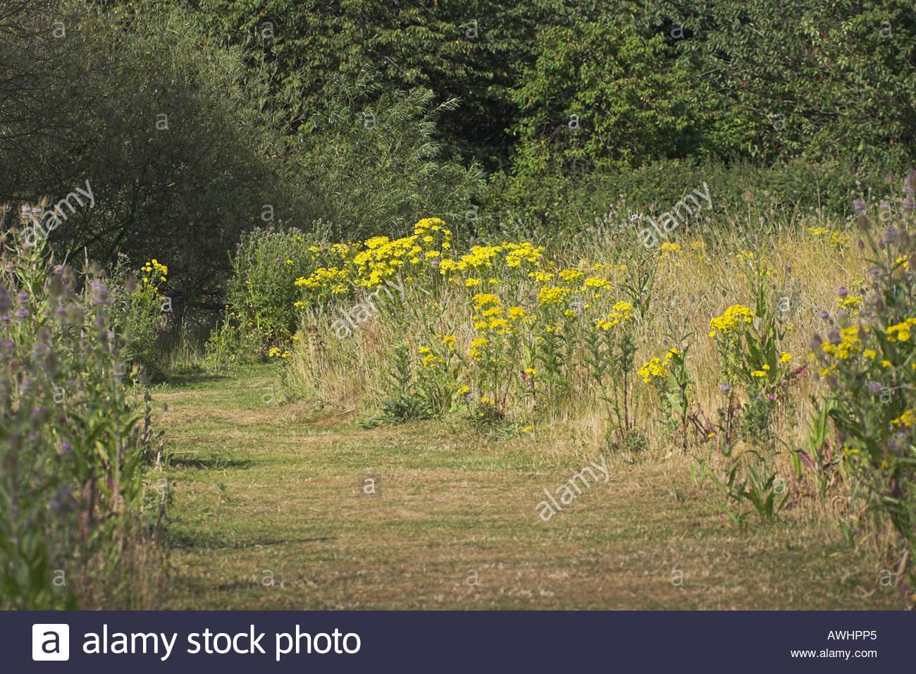Common Ragwort Senecio jacobaea North Poulner Lake Ringwood Hampshire England - Stock Image