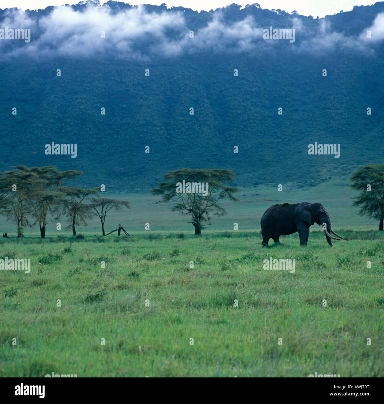 A lone Bull Elephant  Safari Ngorongoro Crator Tanzania East Africa - Stock Image