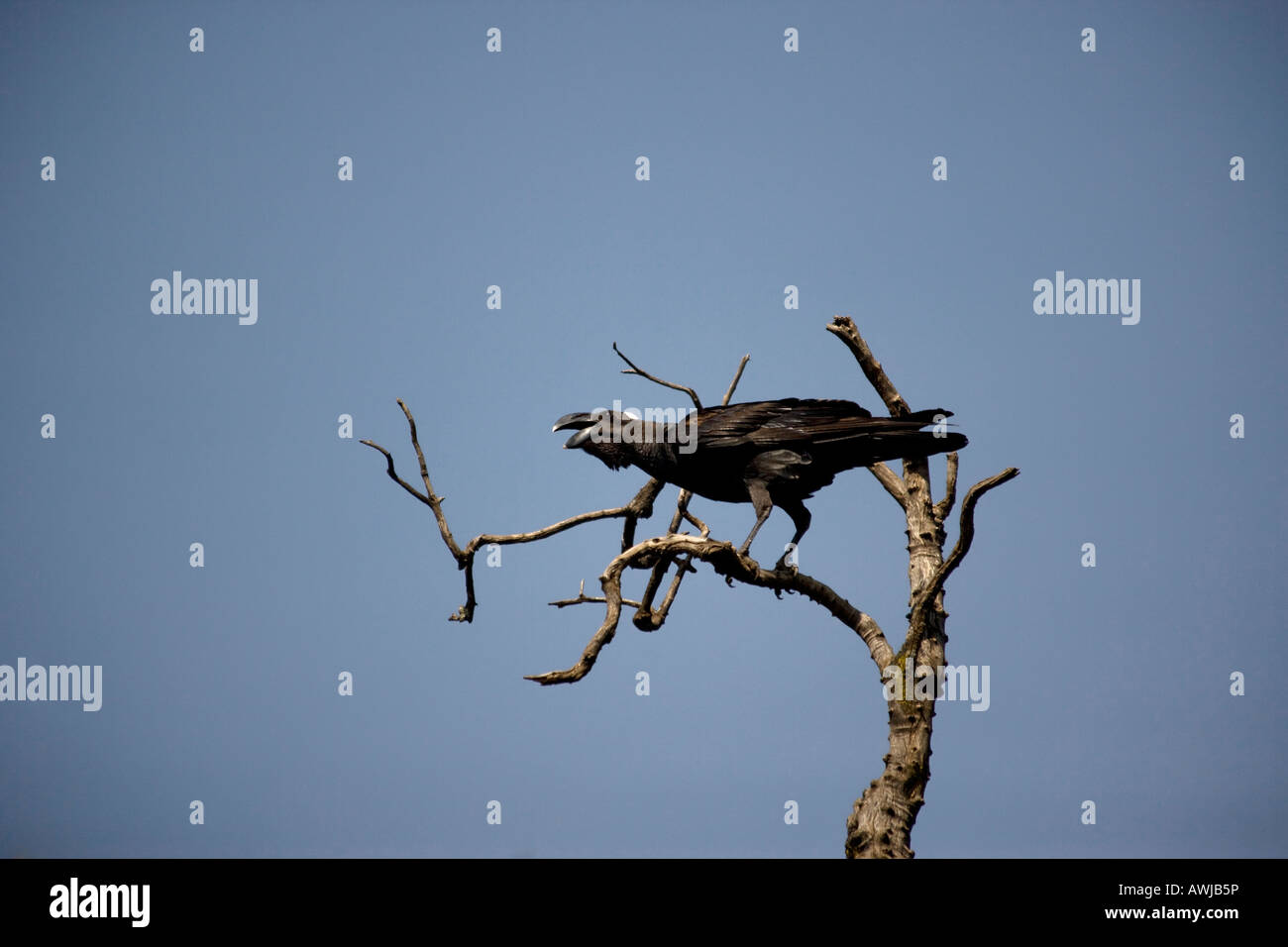 Thick-billed Raven, Lalibela, Ethiopia - Stock Image