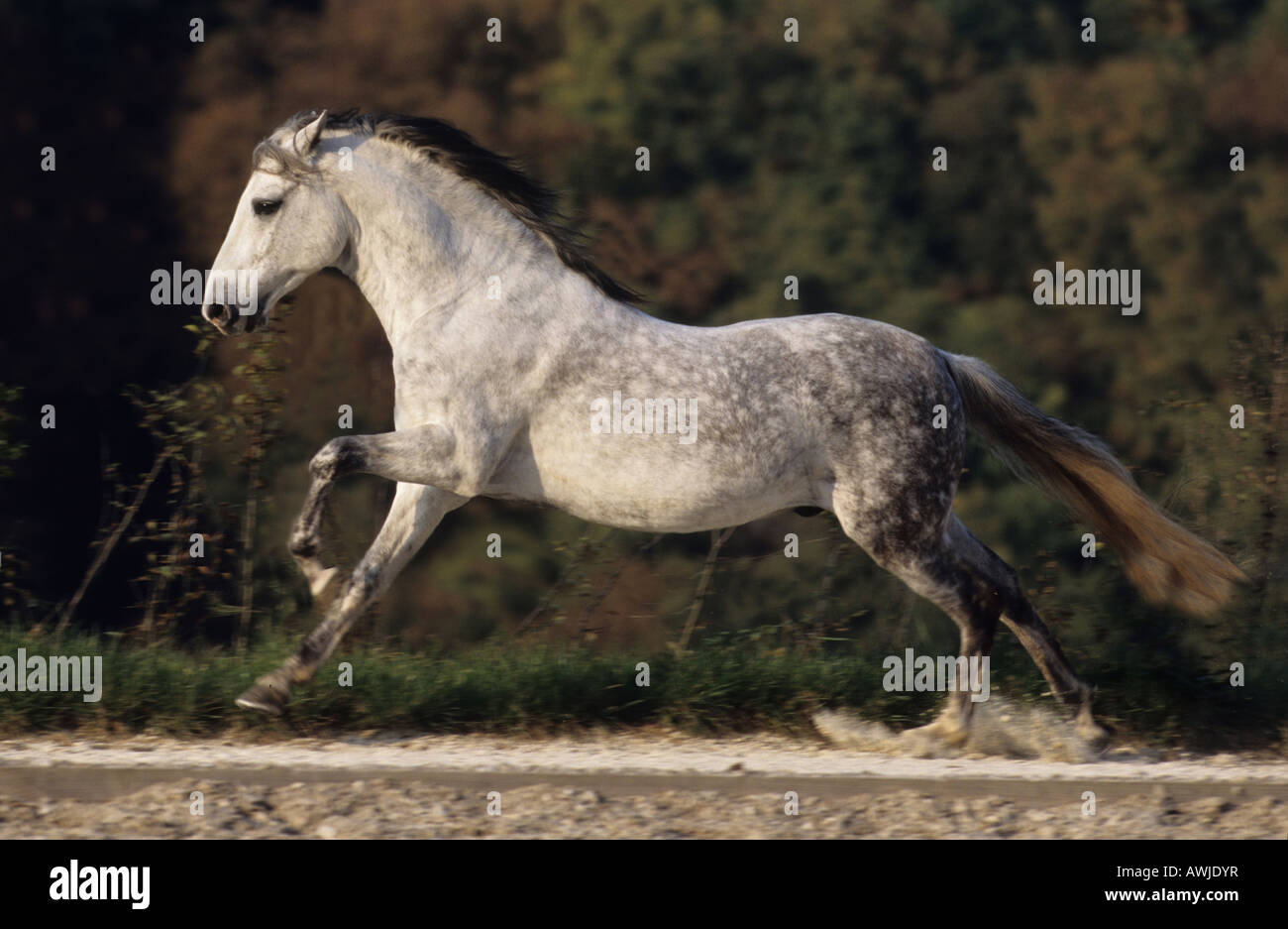 Paso Fino (Equus caballus), stallion in gallop seen from the side - Stock Image