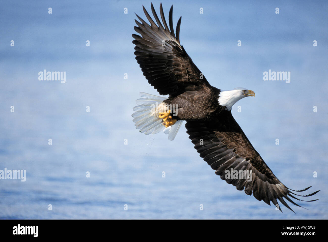 bald eagle - flying / Haliaeetus leucocephalus - Stock Image