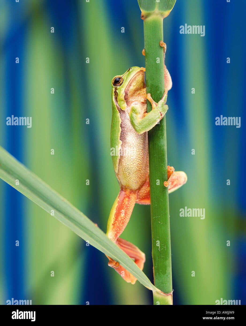 European tree frog (Hyla arborea) climbing on reed stalk - Stock Image