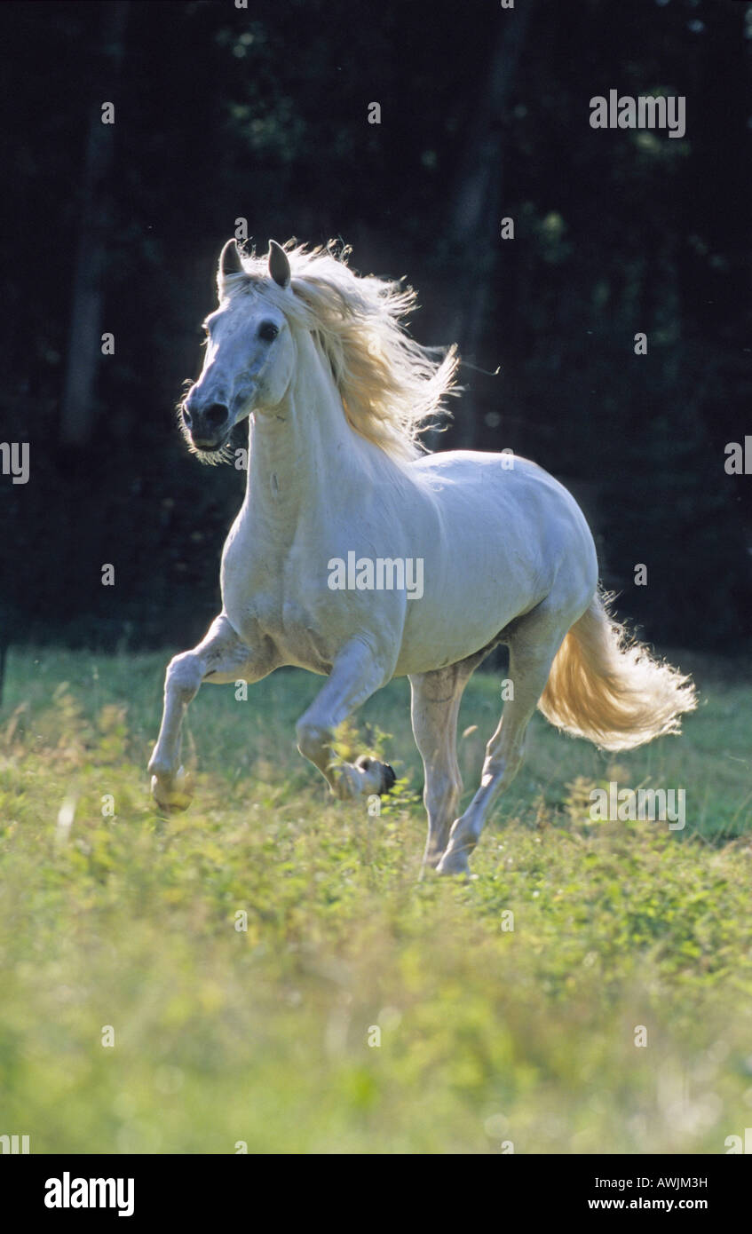 Lusitano (Equus caballus), stallion in gallop on a meadow - Stock Image