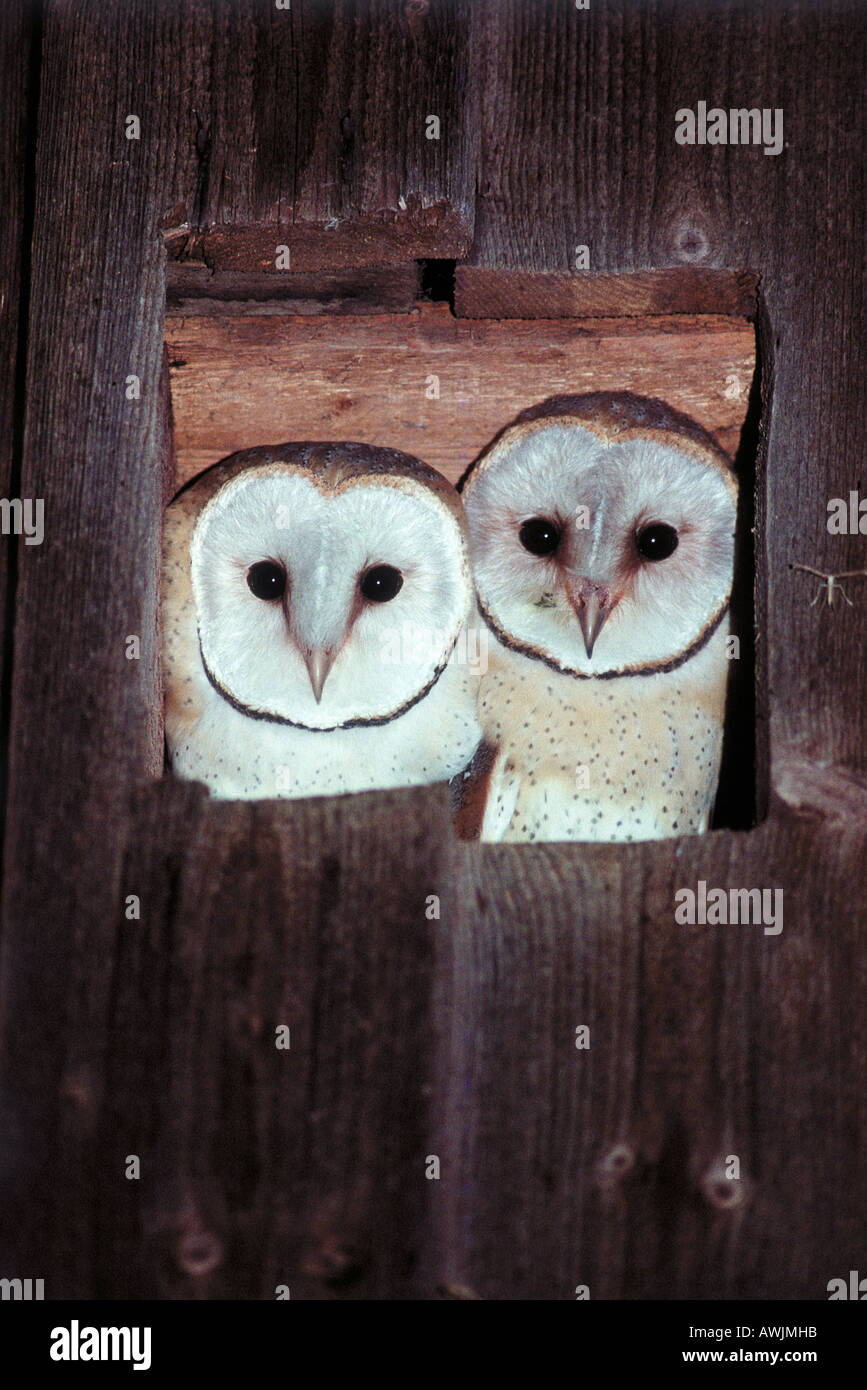two Barn Owls - looking out of window / Tyto alba - Stock Image