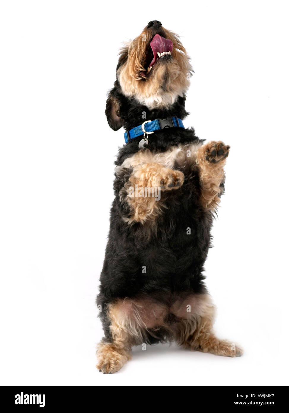 A small terrier on two feet looking upwards begging. - Stock Image