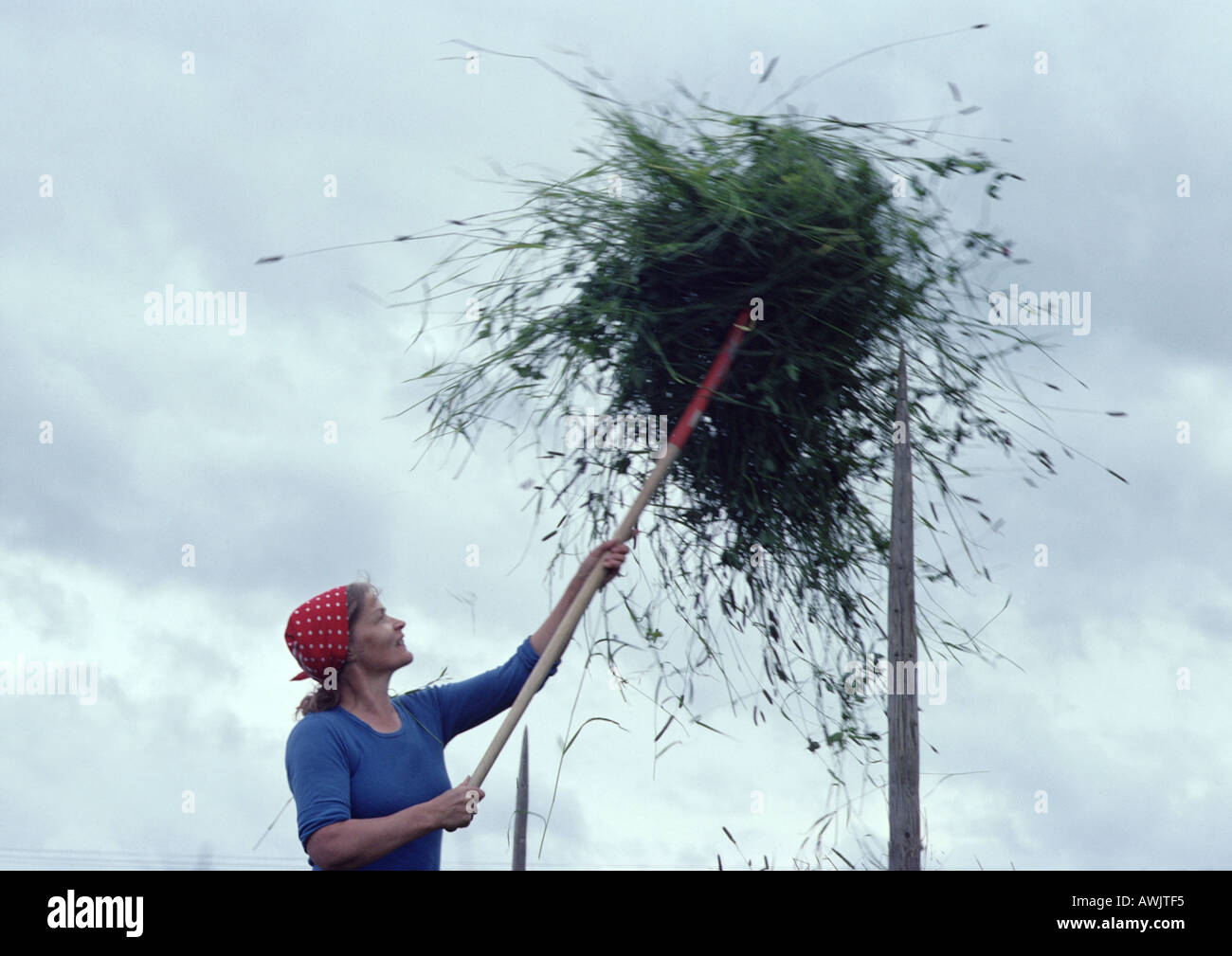 Finland, woman forking ball of vegetation onto pole - Stock Image
