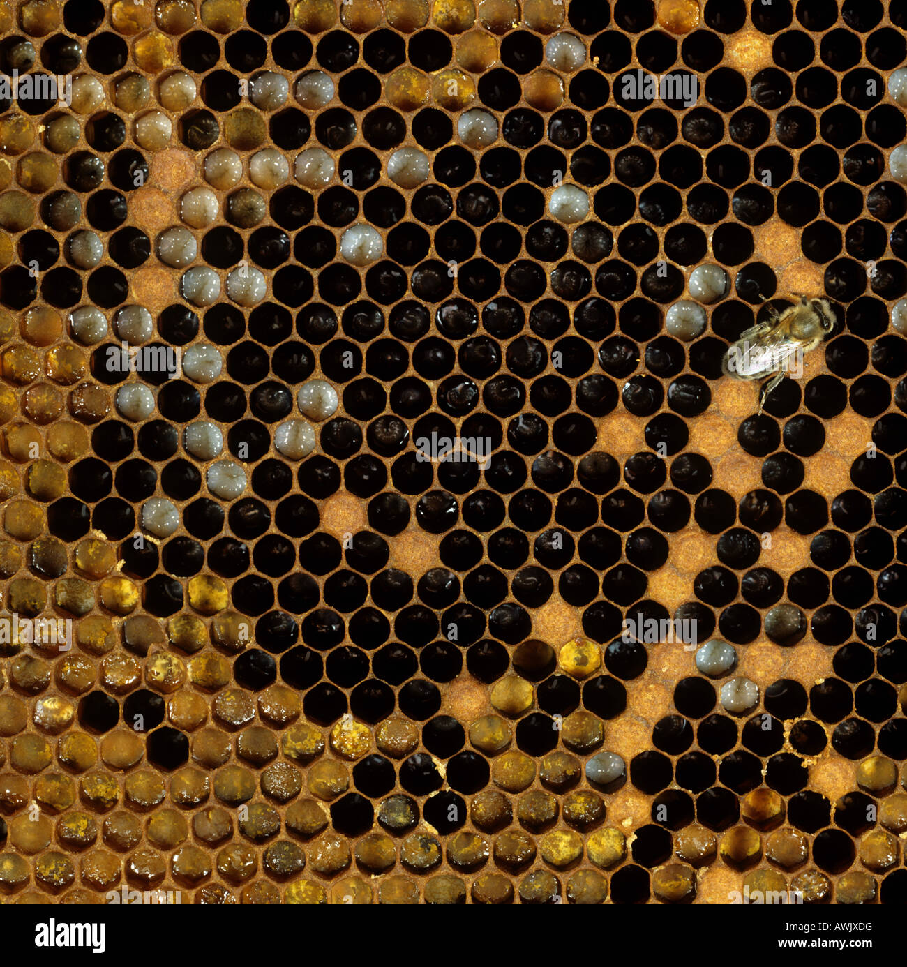 Honey Bee Apis mellifera hive worker and brood cells some capped - Stock Image
