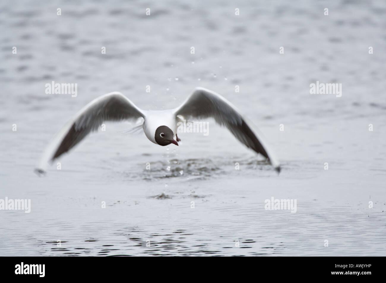 Black headed Gull Larus ridibundus adult on water Titchwell Norfolk East Anglia England March Stock Photo