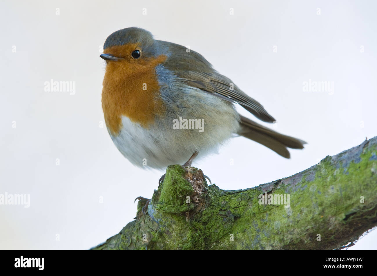 European Robin (Erithacus rubecula) adult perched on lichen covered branch Titchwell Norfolk East Anglia UK March - Stock Image