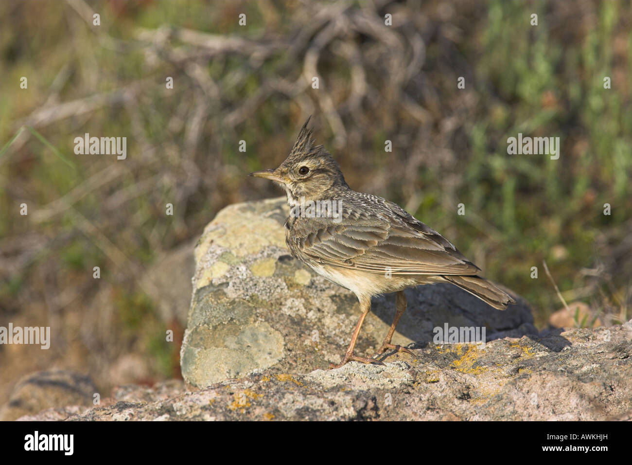 Crested Lark Galerida cristata perched on rocks near nest site in Lesvos, Greece in April. Stock Photo