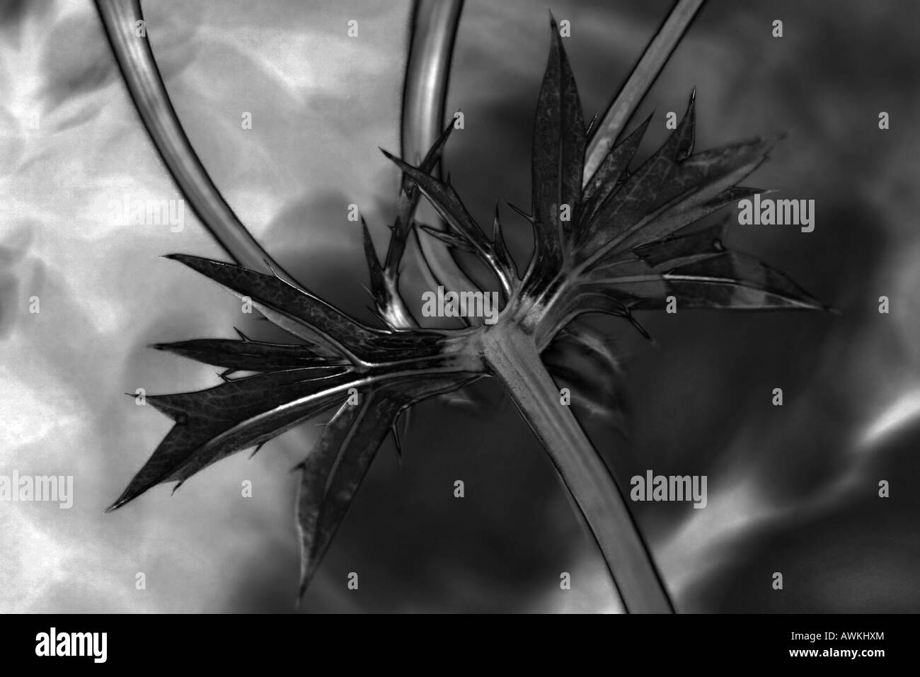 Sea Holly (bourgatii picos) in black and white.  Saturation channel of photo - Stock Image