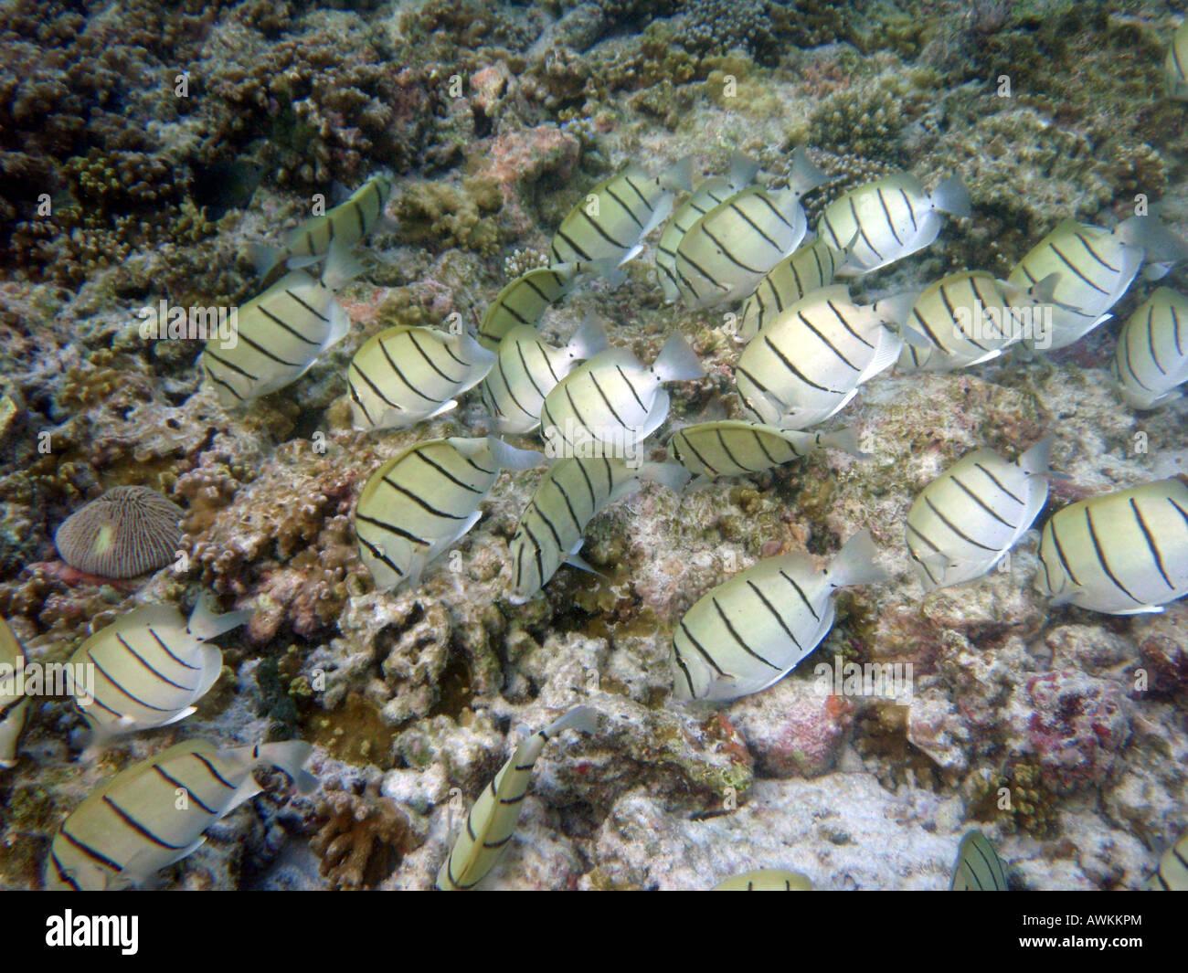 Convict Surgeonfish (Convict Tang)  [Bandos Island Reef, Kaafu Atoll, Maldives, Asia]                           Stock Photo