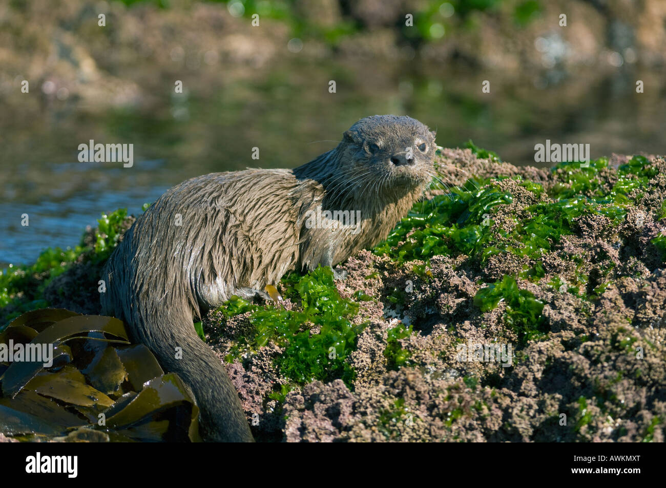 Marine Otter (Lontra felina) or Chungungo, ENDANGERED, Chiloe Island, Chile - Stock Image