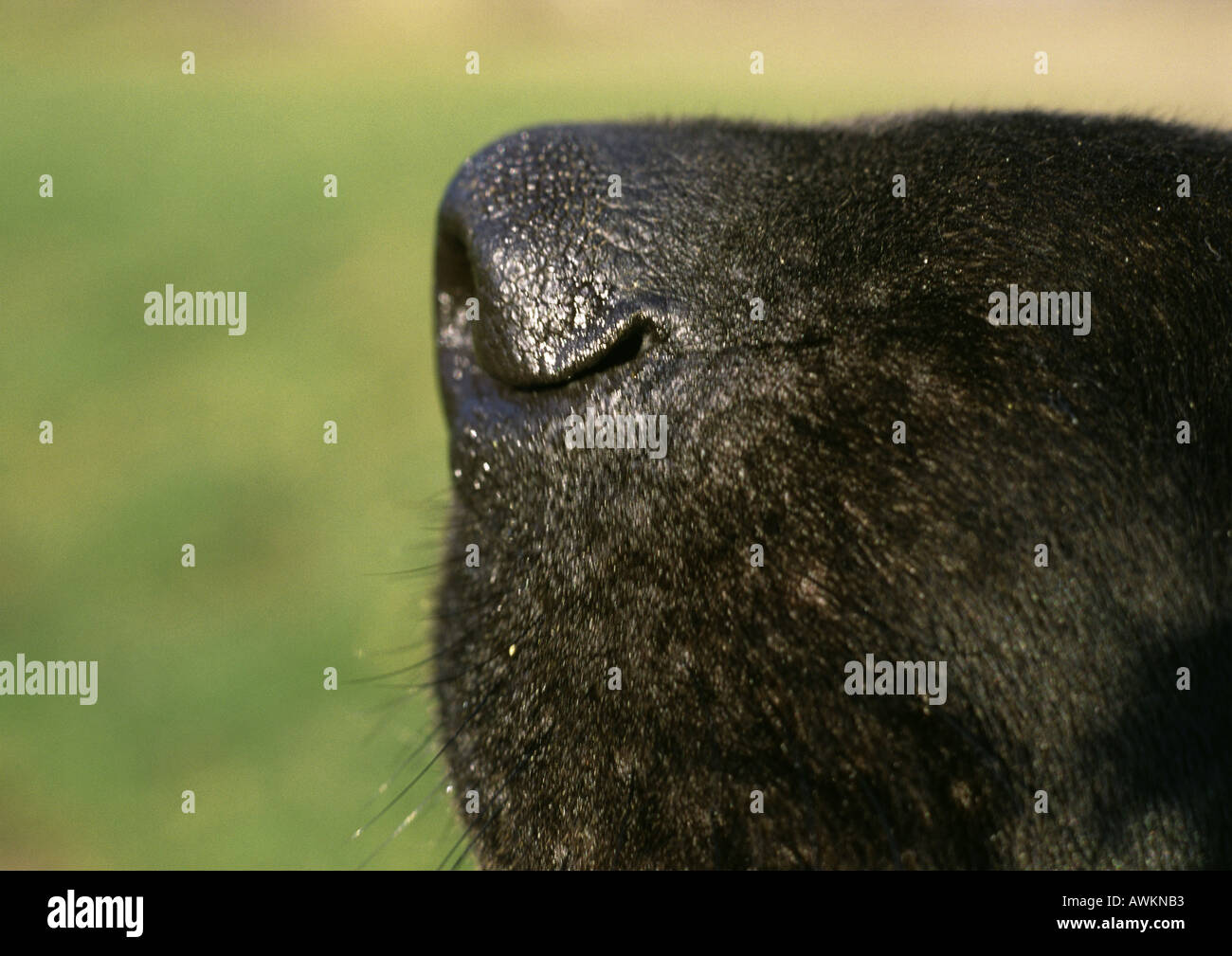 Black dog's nose side view, close-up - Stock Image