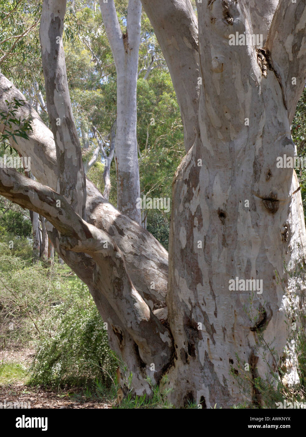 Brittle gum (Eucalyptus mannifera) Stock Photo