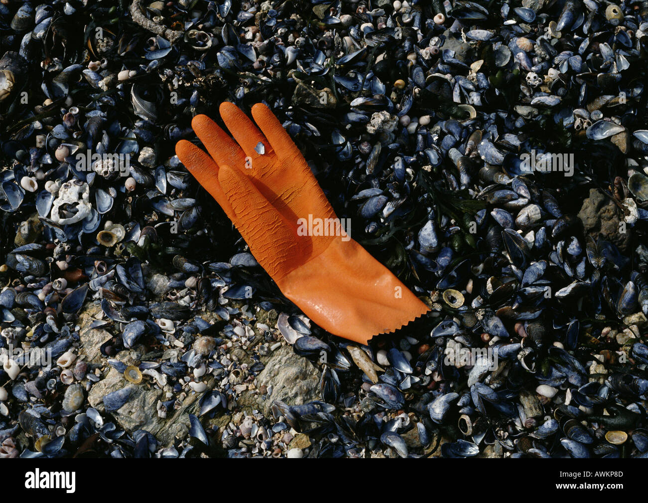 Rubber glove discarded on shell covered beach Stock Photo