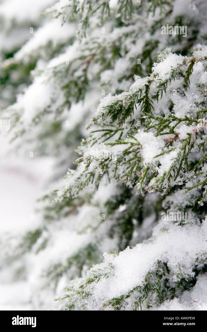 Icy Snow on Blue Point Juniper Branches Stock Photo: 16606416 - Alamy