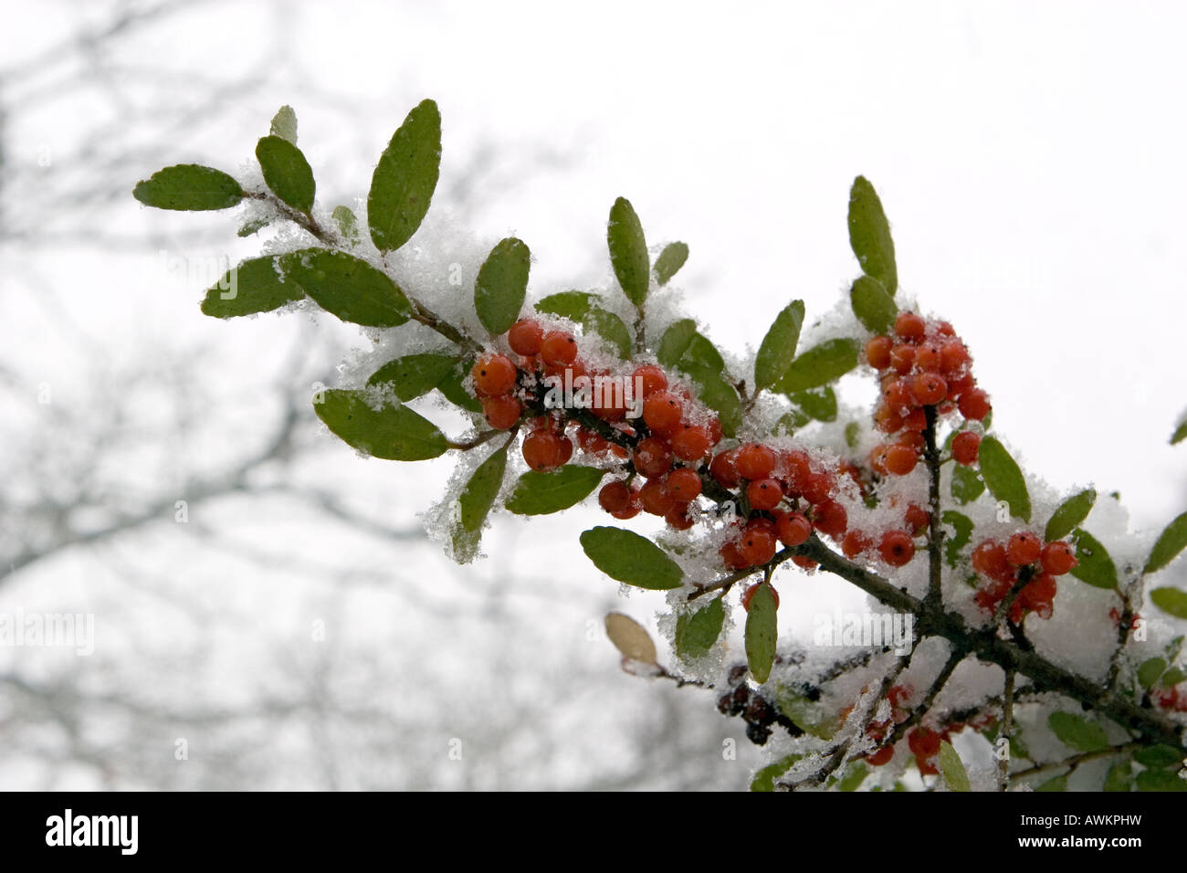 Icy Snow on Yaupon Holly Berries - Stock Image