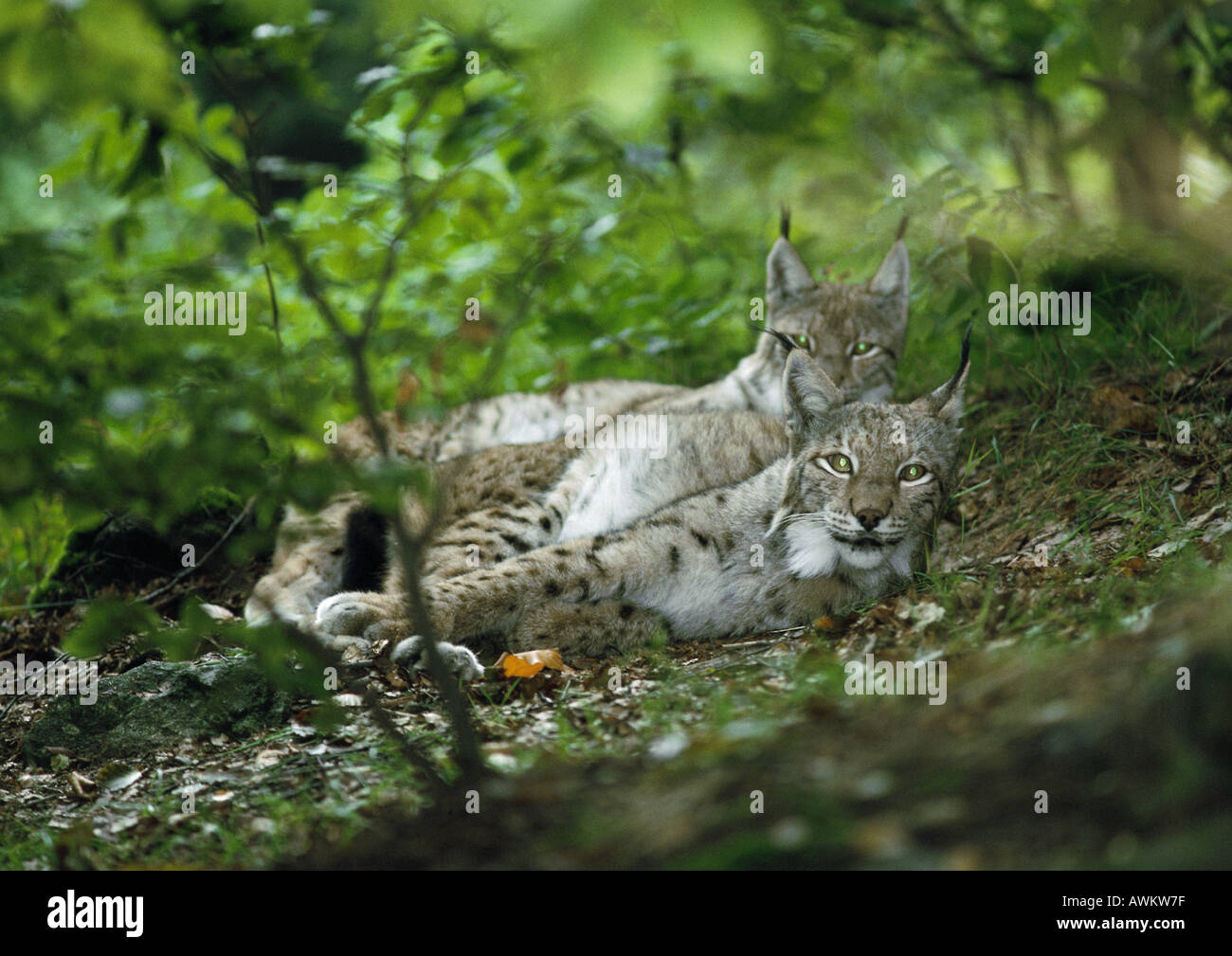 Pair of Eurasian Lynxes (Lynx lynx) lying on forest floor, Germany, full length, looking at camera - Stock Image