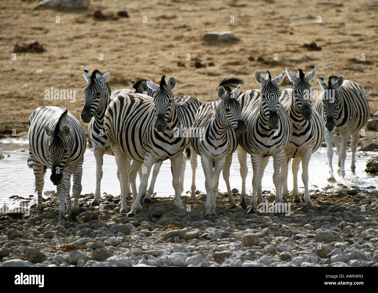 Africa, Namibia, group of Burchell's Zebras (Equus quagga burchellii) standing in front of pond - Stock Photo