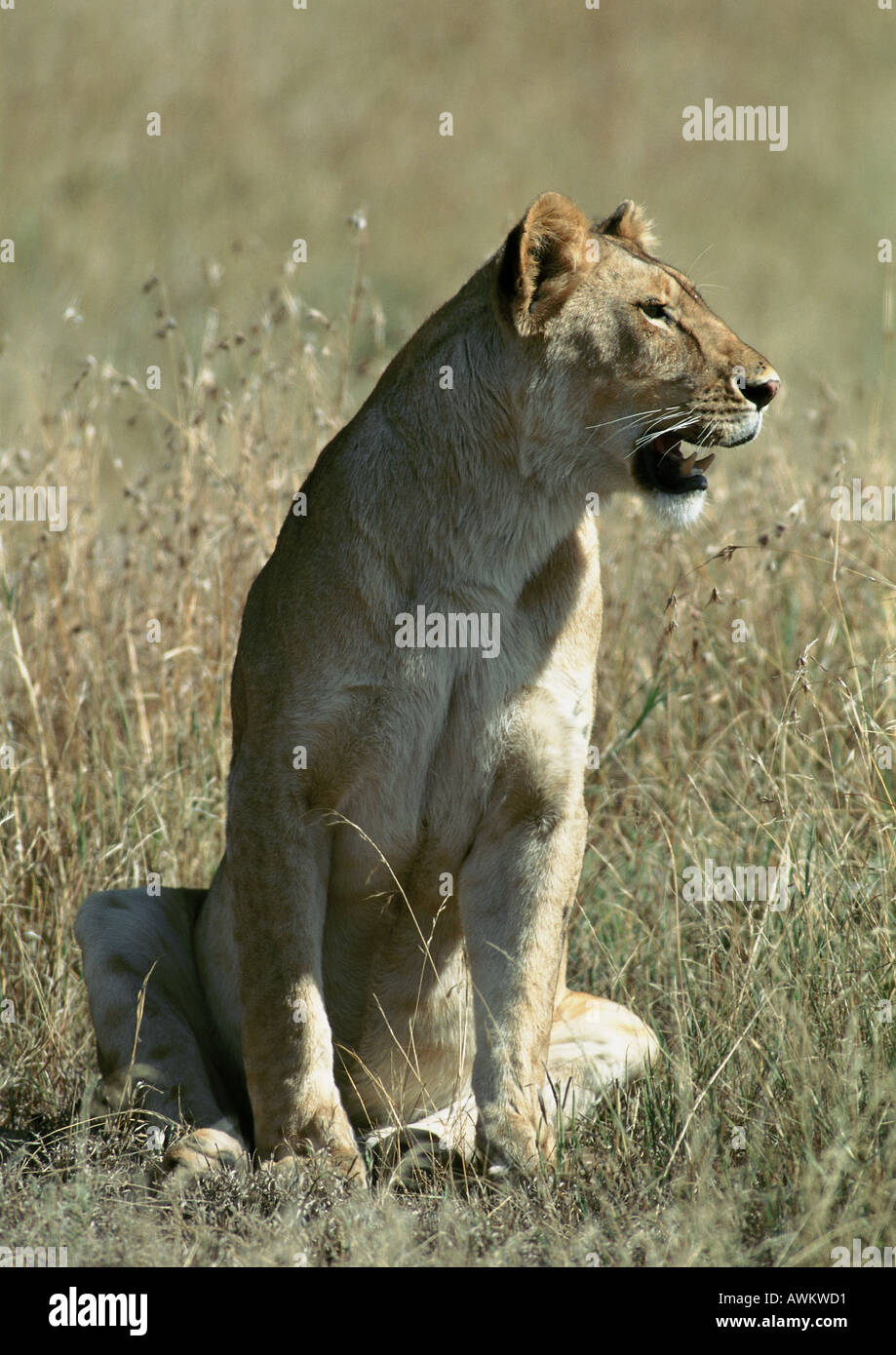 Lioness (Panthera leo) sitting in grass, full length - Stock Image