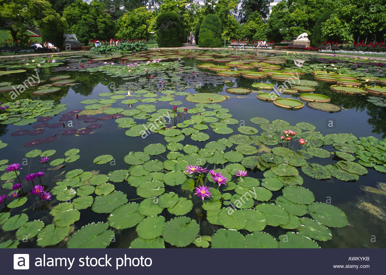 Seerosenteich Bluhende Seerosen Lily Pond Blooming Water Lilies
