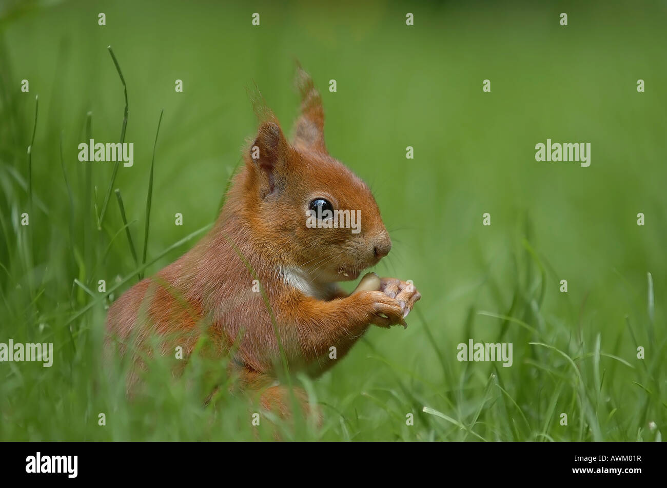 Squirrel (Sciuridae) - Stock Image