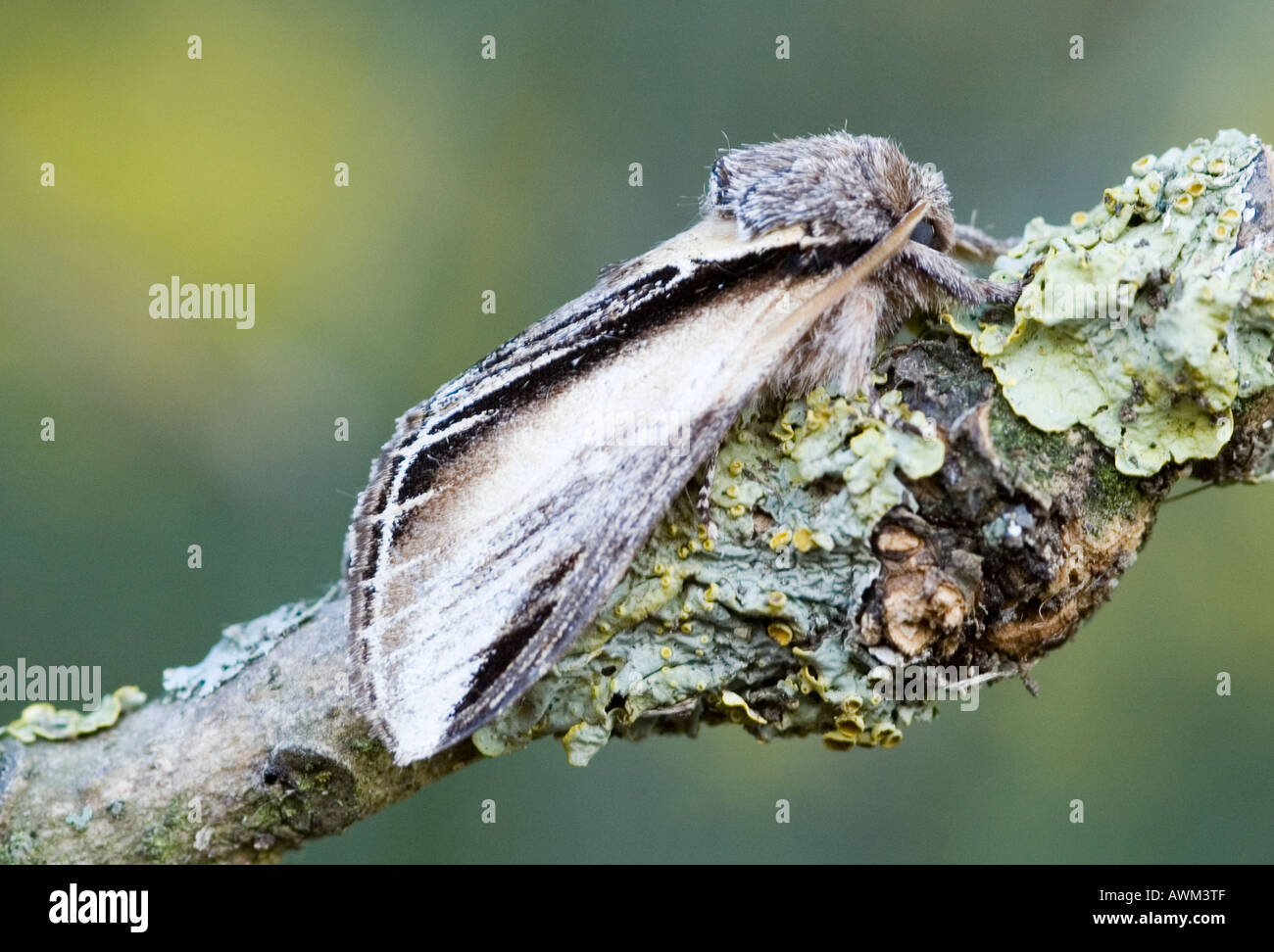 SWALLOW PROMINENT MOTH PHEOSIA TREMULA ON TREE BRANCH - Stock Image