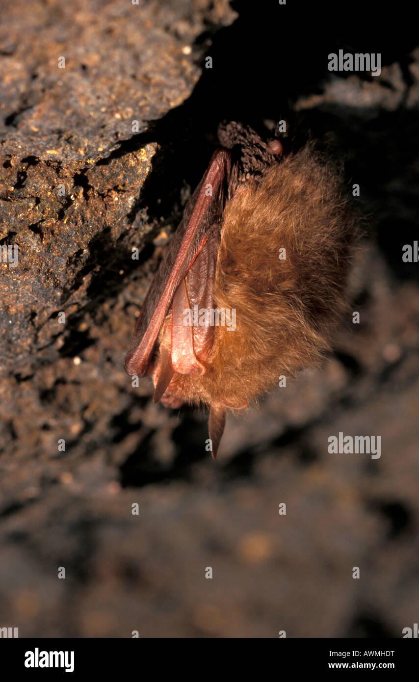 Common long-eared bat (Plecotus auritus) hibernating in a cave - Stock Image