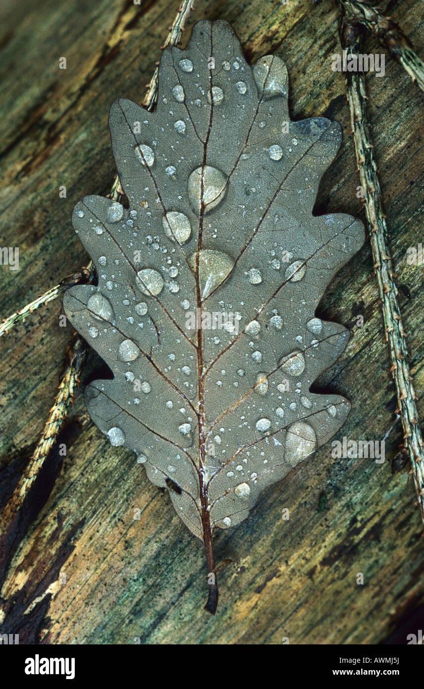 Waterdrop on oak leaf - Stock Image