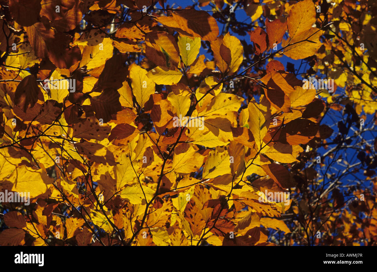 Common beech leaves in autumn colours (Fagus sylvatica) - Stock Image
