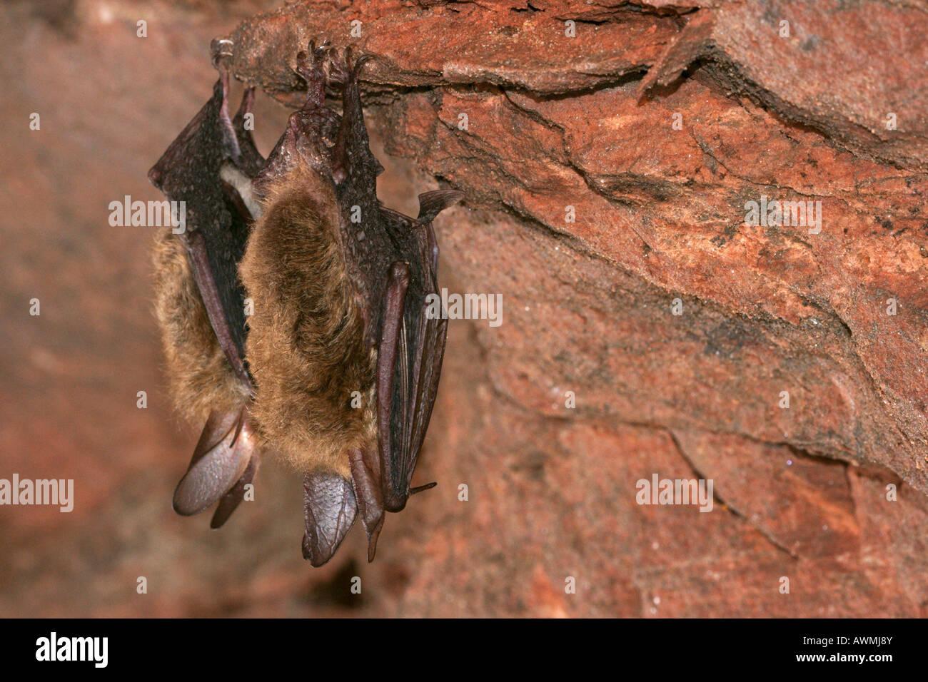 Bechstein's bat (Myotis bechsteinii) hibernating in a cave - Stock Image