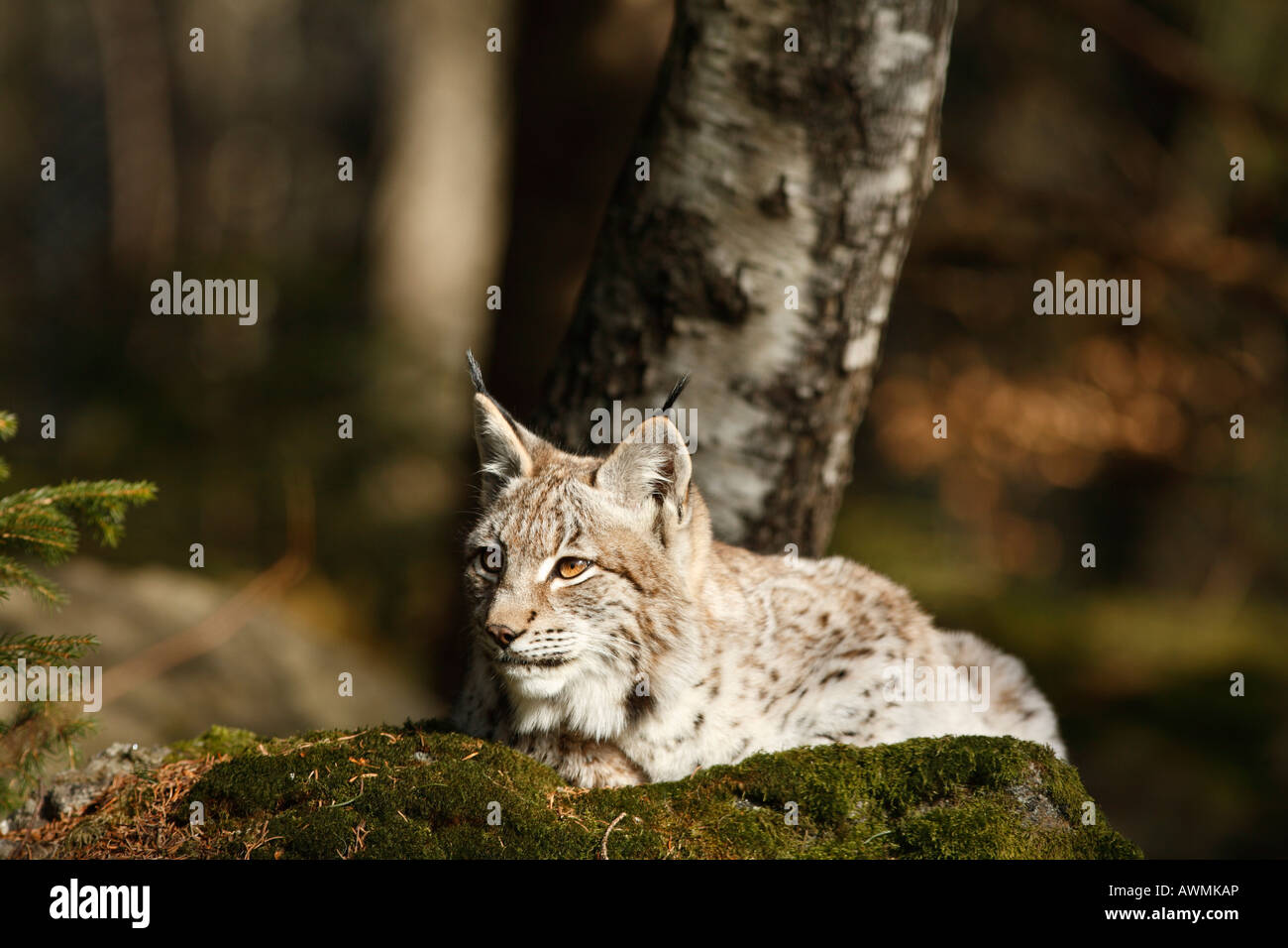 Eurasian Lynx (Lynx lynx) in an outdoor enclosure in the Bayerischer Wald (Bavarian Forest), Lower Bavaria, Bavaria, Stock Photo
