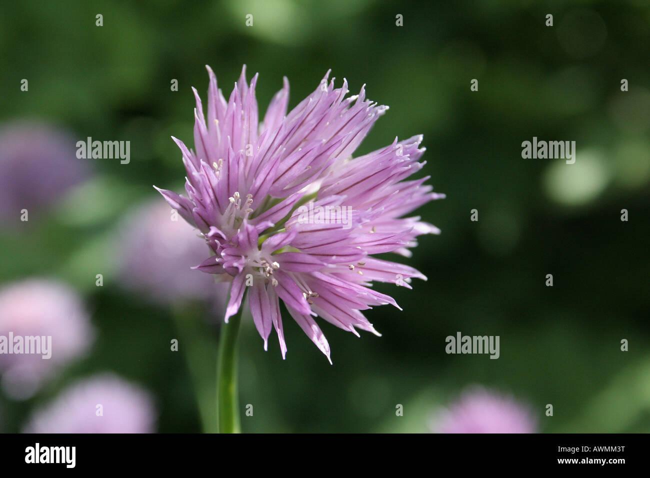 Chives (Allium schoenoprasum), purple flower Stock Photo