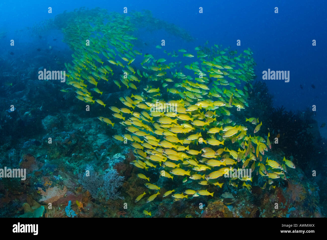 School of Bluestripe Snappers or Bluestripe Sea Perches (Lutjanus kasmira), Indonesia, Asia Stock Photo